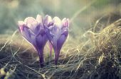 Spring crocus flowers. Blooming meadow in the mountains. Filtered image: vintage, grunge and texture effects
