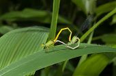 Mated Damslflies On Leaf