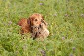 Gundog Retrieving A Pheasant
