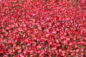 Carpet Of Red Flowers