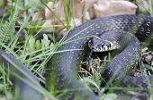 Snake (natrix Natrix)