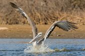 Pink-backed Pelican With Wings Up Rushing Forwards To Dive For Fish
