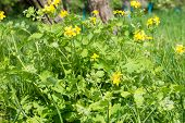 stock photo of celandine  - Medicinal herb celandine blooms in the forest lit by the Sun - JPG