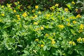 pic of celandine  - Medicinal herb celandine blooms in the forest lit by the Sun - JPG