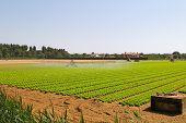 Salad Field Irrigation