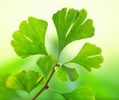Green ginkgo biloba, close-up.