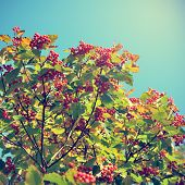 Hawthorn Berries On Sky Background In Retro Style