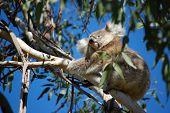A Koala's Eye View