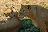 Lioness and lionet on grass