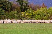 Herd Of Sheeps In Eating Some Grass