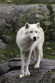 Arctic Wolves in the fall