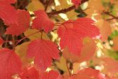Autumn colors. Red leaves of viburnum
