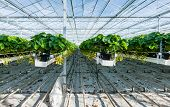 image of horticulture  - Large greenhouse horticulture company specialized for hydroponic cultivation of strawberries - JPG