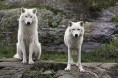 Pair of Arctic wolves