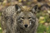 pic of coyote  - Coyotes in a wooded, fall environment with rocks and green grass