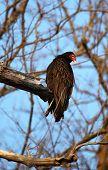 Turkey Vulture In Tree