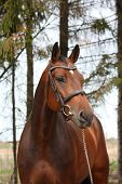 Bay Holsteiner Horse Portrait With Bridle