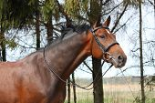 foto of bridle  - Bay holsteiner breed horse portrait with bridle