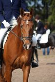 Chestnut Horse Portrait During Dressage Test