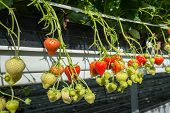 stock photo of hydroponics  - Closeup of strawberries from hydroponically cultivated plants at a convenient picking height in a specialized Dutch greenhouse horticulture business - JPG