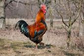 image of fighting-rooster  - Portrait of a red rooster - JPG
