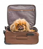 Dog in travel case isolated on white background