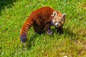 Red panda bear - animal background