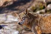Wolf - zoo in Innsbruck Austria - animal background