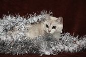 Nice Christmas Burmilla In Front Of Gifts