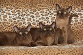 Beautiful Burmese Cats In Front Of Nice Blanket