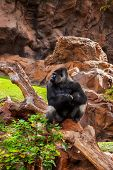Gorilla monkey in park at Tenerife Canary - animal background