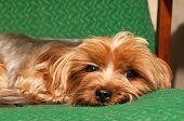 Lap Dog Portrait