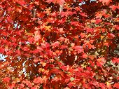 Red Oak Tree Leaves