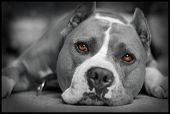 stock photo of american staffordshire terrier  - My dog American Staffordshire Terrier Ares posing - JPG