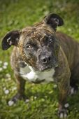 image of american staffordshire terrier  - My dog American Staffordshire Terrier Lee posing