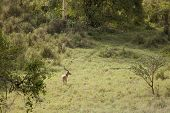 wild impala in forest in Kenya