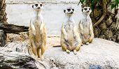 foto of meerkats  - three meerkat are standing and sitting on the rock  - JPG