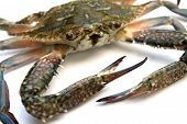 stock photo of blue crab  - closeup of blue crab isolated on white background  - JPG