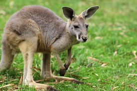 image of terrestrial animal  - The red kangaroo  - JPG