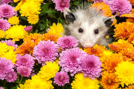 image of possum  - A Baby Opossum hiding in flowers in the garden - JPG