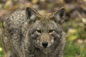 picture of coyote  - Coyotes in a wooded, fall environment with rocks and green grass ** Note: Soft Focus at 100%, best at smaller sizes - JPG