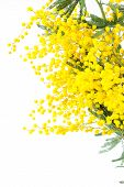 picture of mimosa  - blossoming yellow mimosa on a white background