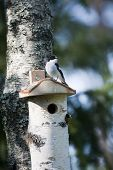 foto of nesting box  - a flycatcher sitting and guarding his nesting box  - JPG