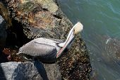 image of jetties  - Brown pelican sitting on a rock out on the jetty at Jetty Park - JPG