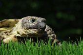 Grassland Tortoise