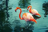 stock photo of pink flamingos  - Two pink flamingos walking in the water with reflections - JPG