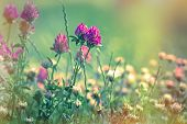 pic of red clover  - Flowering - JPG