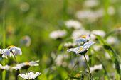 pic of daisy flower  - White daisy flowers - JPG