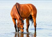 pic of bay horse  - bay beautiful horse standing in water and drinking - JPG
