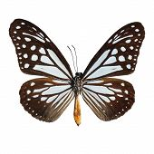 picture of mime  - Blue and brown butterflyTawny Mime butterfly isolate on white background - JPG